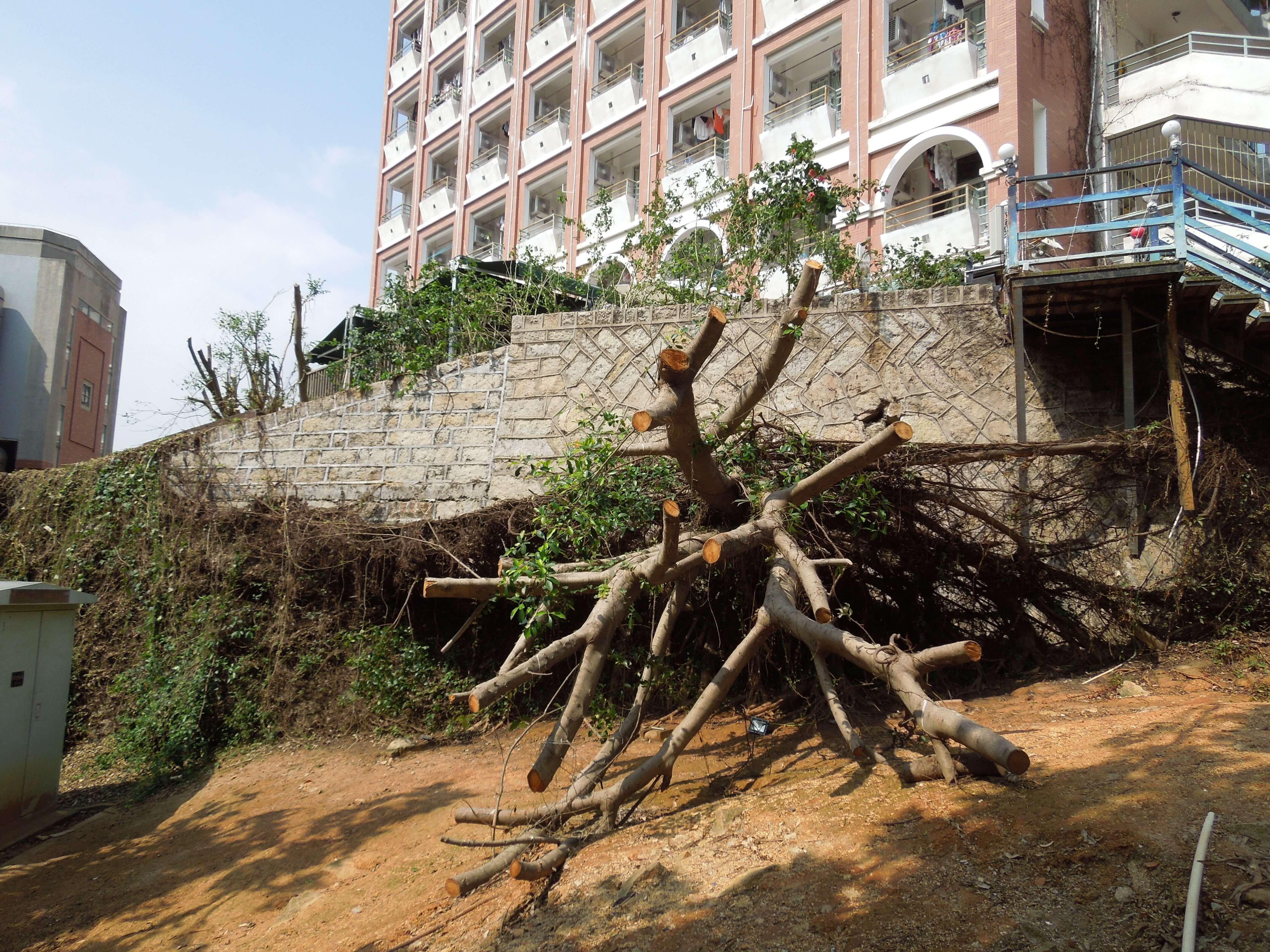 厦大宿舍&被台风刮倒的树